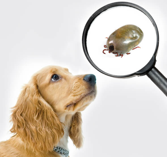 how to identify a tick on a dog